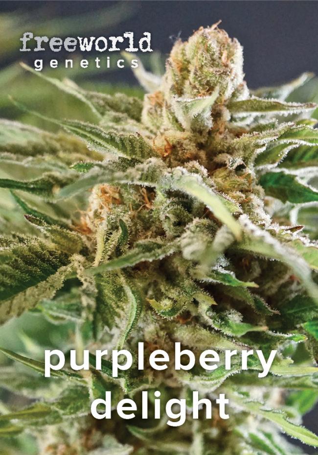 Purpleberry Delight Feminized Hemp Seeds