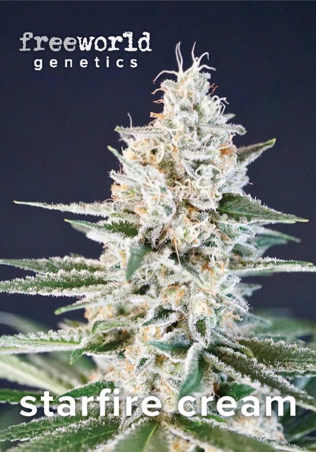 Starfire Cream Feminized Cannabis Seeds